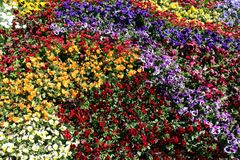 Mix of colors of Viola spp. in one garden bed. Different flower color of the same specie Viola spp. in the flower bed making part of the pattern in city park Stock Photos