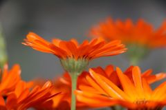 One marigold Calendula officinalis standing out from bouquet royalty free stock image