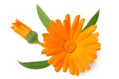 One marigold flower head isolated on white background. calendula flower. top view stock photo