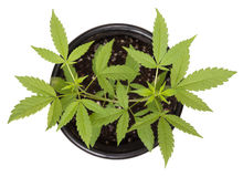 One marijuana plant high angle view Stock Photo