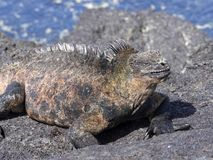 Marine Iguana, Amblyrhynchus cristatus albemarlensis, is a subspecies on Isabela Island, Galapagos, Ecuador. One Marine Iguana, Amblyrhynchus cristatus Royalty Free Stock Photography