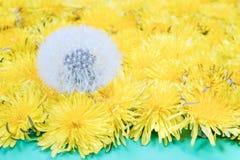 One mature dandelion next to yellow Stock Photos