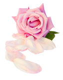 One mauve rose with petals Royalty Free Stock Image