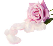 One mauve rose with petals Stock Images