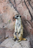 One meerkat standing on a rock and keeping lookout Stock Images