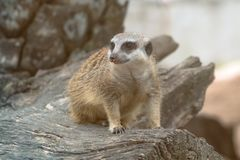 One meerkat standing on timber and looking around stock photo