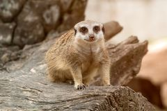 One meerkat standing on timber and looking at camera royalty free stock images