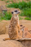 One meerkat or suricat standing on sand Royalty Free Stock Photos