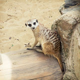 One Meerkat (Suricata suricatta) Royalty Free Stock Photos
