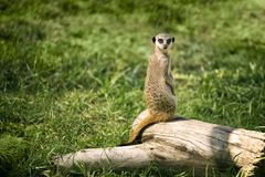 Meerkat on a watch standing. One meerkat on a watch standing in a meadow and looking at camera stock images
