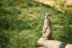 Meerkat on a watch standing Royalty Free Stock Images