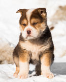 Little puppy in the snow Royalty Free Stock Images