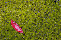 One in a million red leaf Royalty Free Stock Photo
