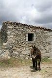 One Miranda donkeys Royalty Free Stock Photos