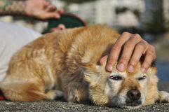 One mixed breed yellow dog  rests with its owner under the sun. Against a blurred urban background. It has the owner`s hand on its head Stock Images