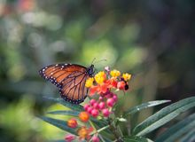 One Monarch butterfly on flowers. Close up of one Monarch butterfly on red and yellow flowers with a green bokah background royalty free stock photos
