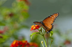 One monarch butterfly on red flower Stock Photo