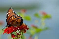 One monarch butterfly on red flower Stock Photography
