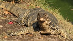 One Monitor Lizard. Freedom. reptiles one colorful Monitor Lizard relax with warm sunlight on riverside stock photo