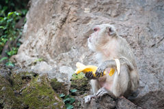 One monkey with banana sit on rock Royalty Free Stock Photo