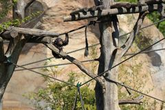 One monkey climbing on branches outside in zoo in leipzig in germany. In summer stock image