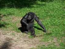 One monkey in the grass. One chimpanzee in a zoo in the netherlands Royalty Free Stock Photos