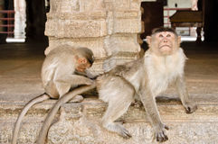 One monkey grooming another. Monkey being groomed by a younger monkey, Hampi, India Royalty Free Stock Photos