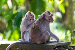 One monkey helps to get rid of fleas to another. Bali, Indonesia Royalty Free Stock Images