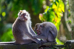 One monkey helps to get rid of fleas to another. Bali, Indonesia Royalty Free Stock Photography