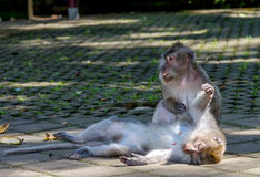 One monkey helps to get rid of fleas to another. Bali, Indonesia Stock Photo