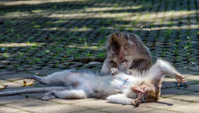One monkey helps to get rid of fleas to another. Bali, Indonesia Royalty Free Stock Image