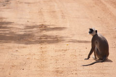 One monkey. Sits alone on an unpaved dirt road royalty free stock photography