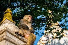One monkey sitting below a tree beside a Tibetan Stupa in Monkey Temple, Nepal stock images