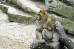 One monkey is sitting on a stone. Look to the left.  Royalty Free Stock Photography