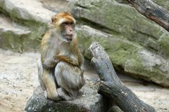 One monkey is sitting on a stone. Look to the right Royalty Free Stock Image