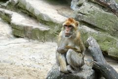 One monkey is sitting on a stone. Look to the right. Wise look Royalty Free Stock Images