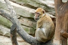 One monkey is sitting on a tree. A look from behind.  Stock Images