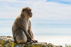 Barbary monkey. One of the monkeys from the the population of Barbary monkeys in Gibraltar seating on a stone wall royalty free stock image
