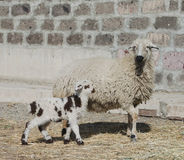 One month lamb with sheep Stock Images