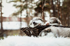 One month old alaskan malamute puppies Stock Photography