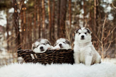 One month old alaskan malamute puppies Royalty Free Stock Images