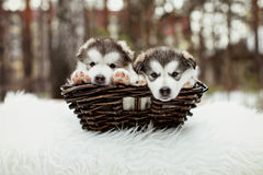 One month old alaskan malamute puppies Royalty Free Stock Image