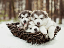One month old alaskan malamute puppies Royalty Free Stock Photography