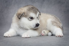 One month old Alaskan malamute puppy Stock Photography