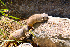 One Month Old Baby Meerkats Royalty Free Stock Photography