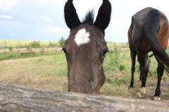 Brown foal with a white star on the forehead looks at you, Animals, nature, horses stock images