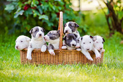 One month old bull terrier puppies in a backet Royalty Free Stock Photography