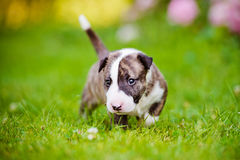 One month old bull terrier puppy Royalty Free Stock Image