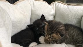 One month old cat brother and sister stock footage