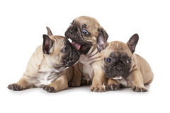 One month old French bulldog puppies Stock Images